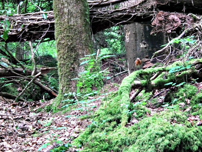 Little Robin in Puzzlewood, Forest of Dean
