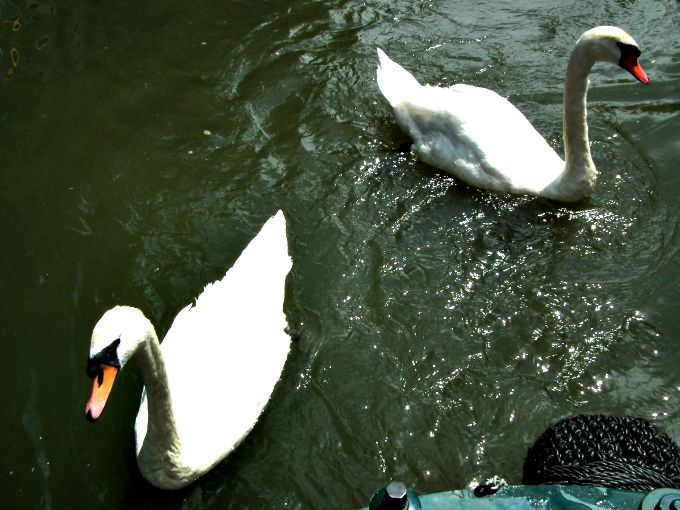 Swans by the canal boat