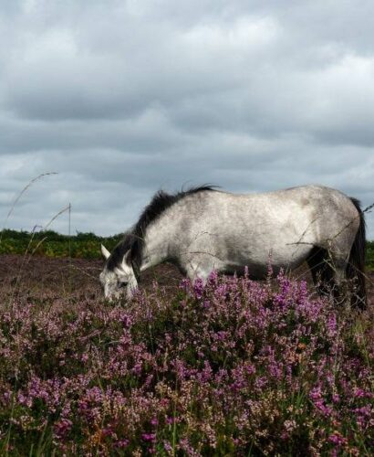 wild grey horse in the heather on the moors in the New Forest