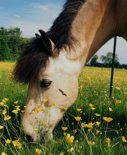 Horse surrounded by buttercups in field in summer