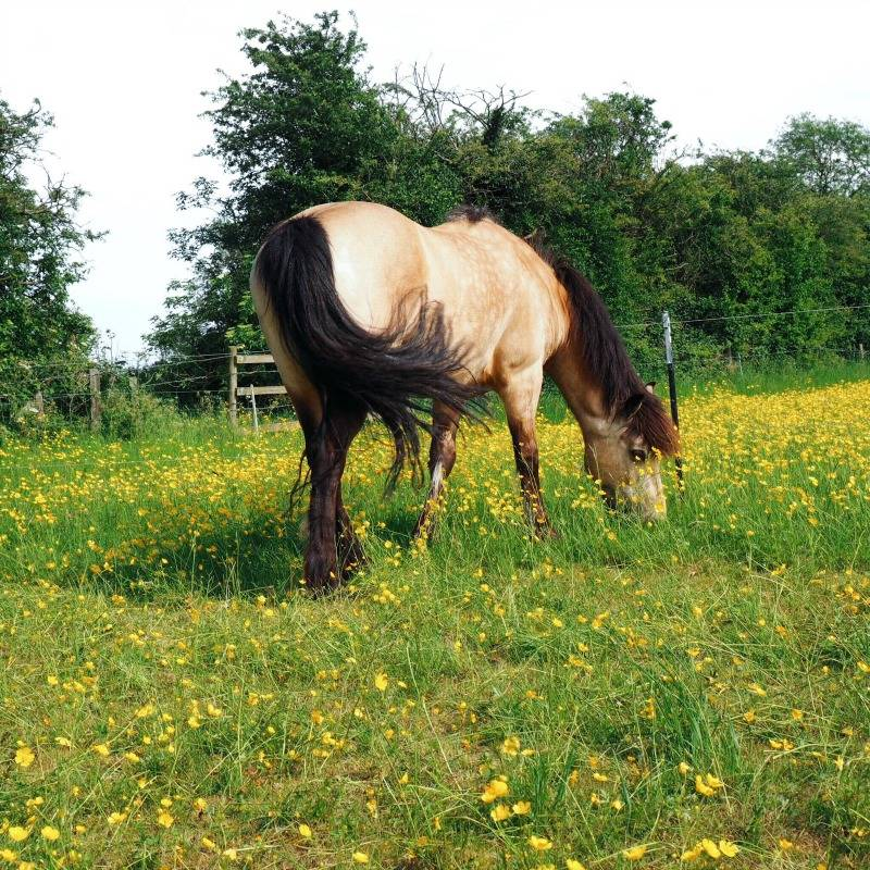 Horse swishing it's tale in a field of buttercups