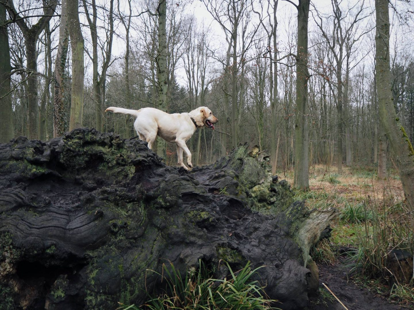 Dog Walking in Salcey Forest Northamptonshire