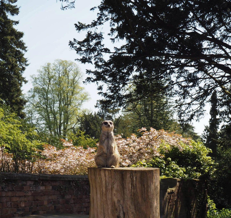 Meerkats at Castle Ashby Gardens
