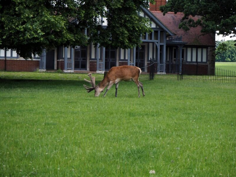 Deer spotting at Woburn Abbey and Gardens