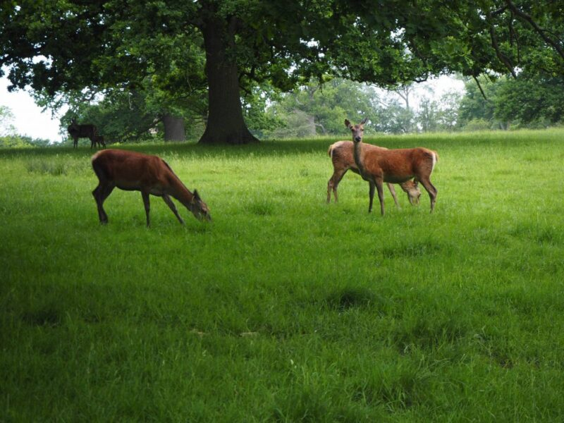 Visiting Woburn Abbey and Gardens Deer Park