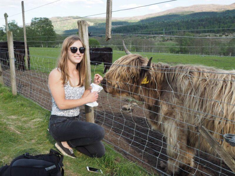 Feeding Highland Cows on a road trip to the Isle of Skye