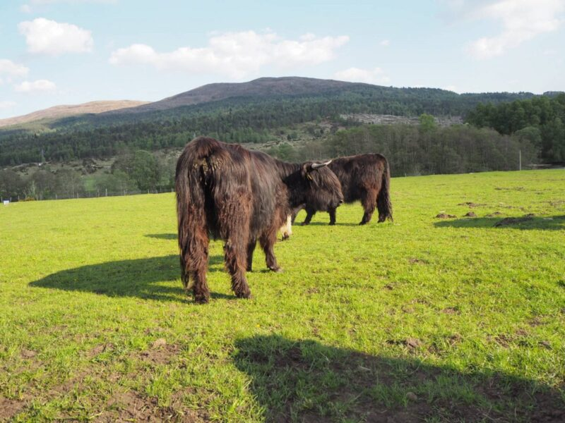 Highland Cows on Road Trip from Inverness to Isle of Skye
