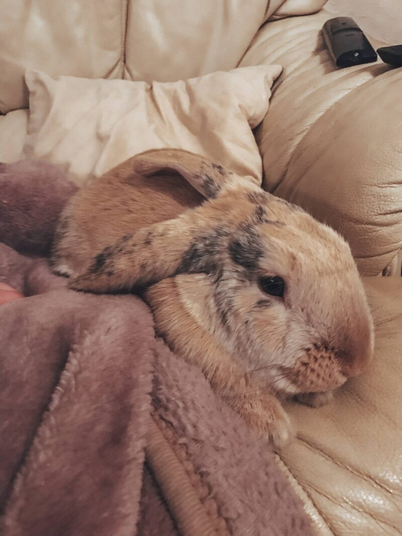 House rabbit cosied up on the sofa