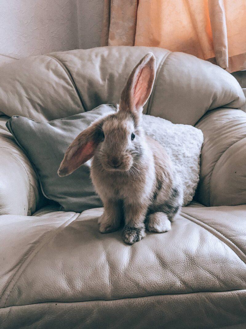 Lop cross rabbit sitting on the soafa