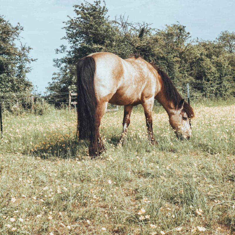 Horse among buttercups