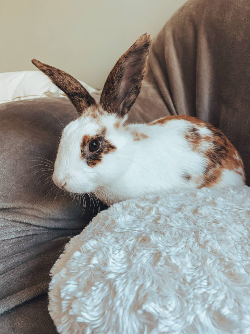 Brown and white house rabbit on a sofa