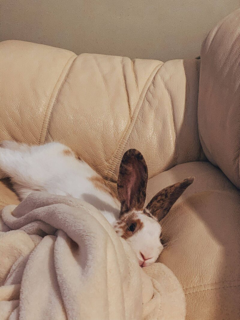 House rabbit lying on the sofa