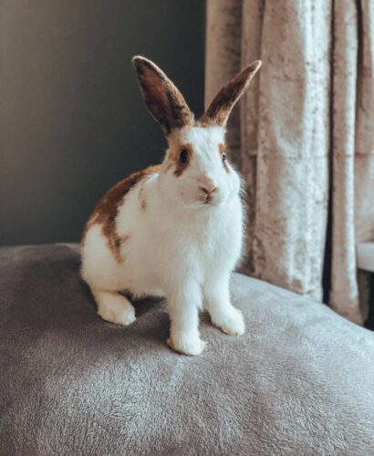 House rabbit on a sofa