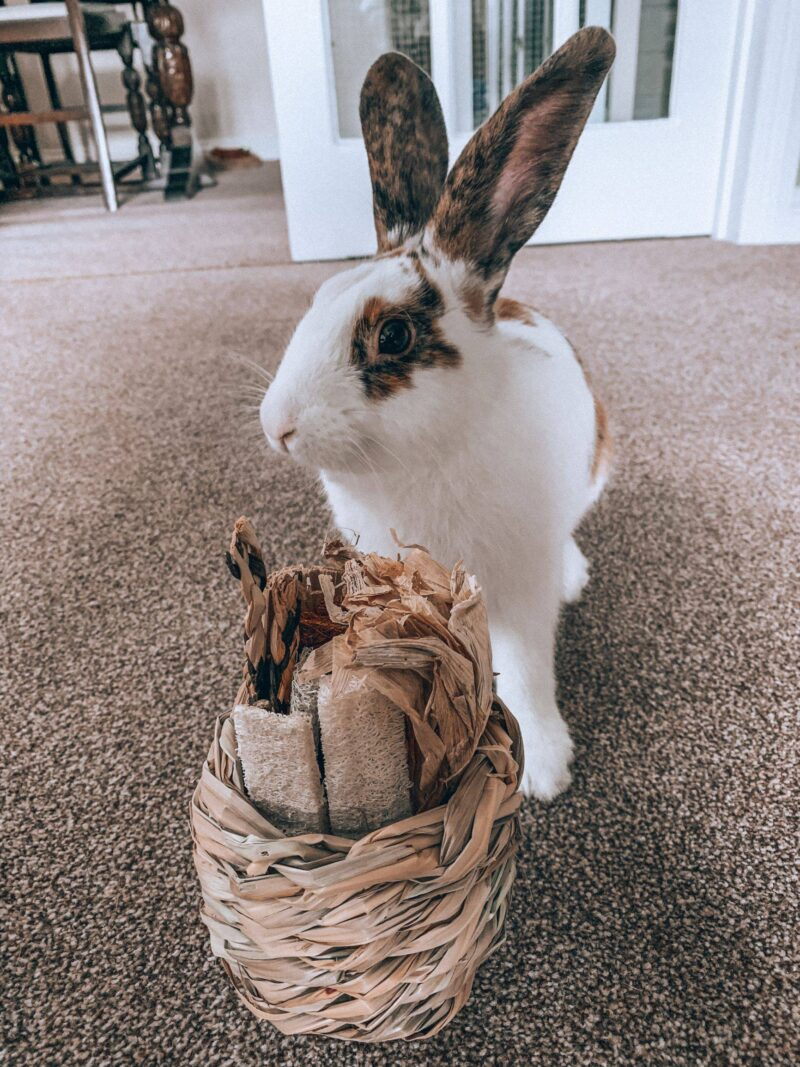 House rabbit with his toy