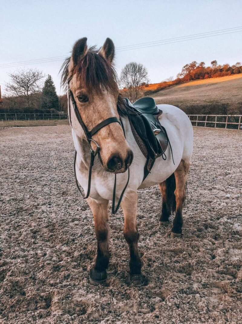 A clipped dun pony during winter
