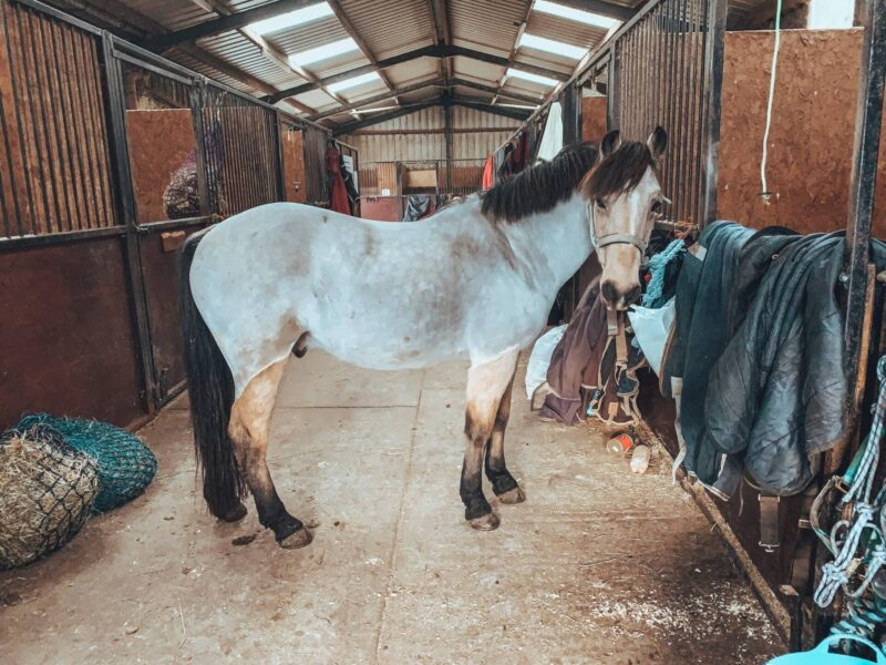Fully body clipped pony inside stable