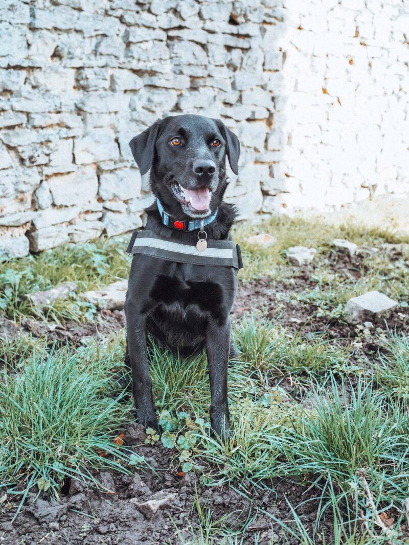 Labrador on walk in Little Linford Woods