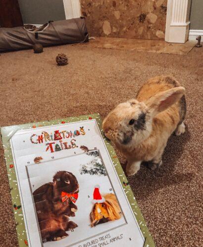 Rabbit with Christmas advent calendar