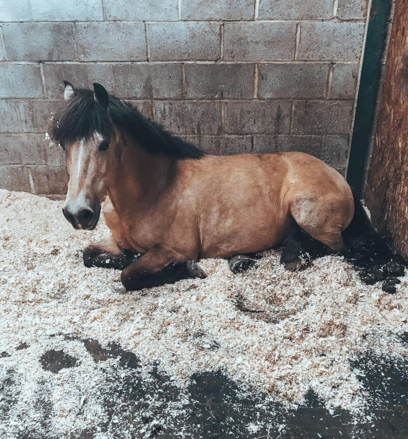 Horse sleeping in stable