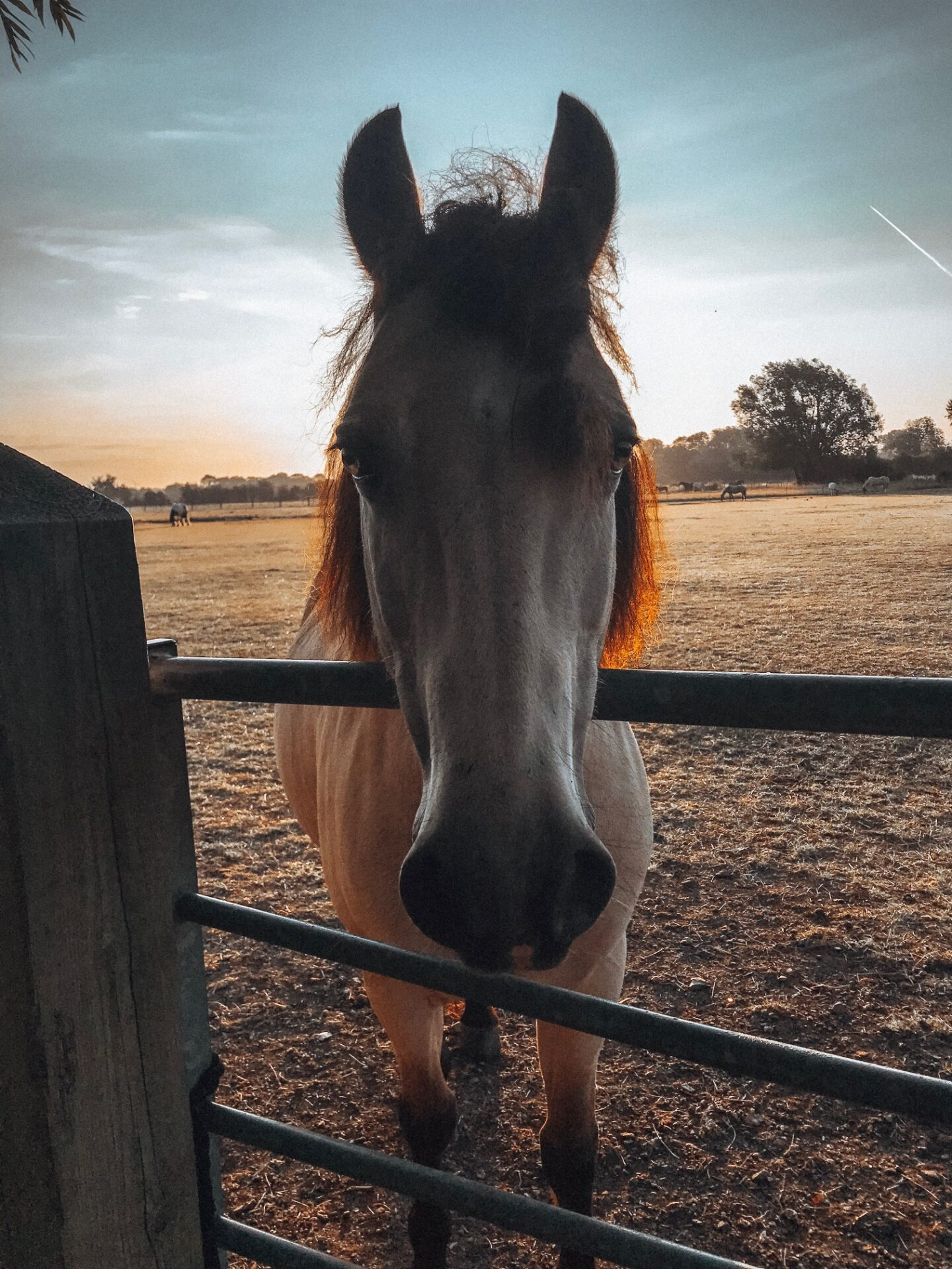 Dun pony looks over a gate at sunrise