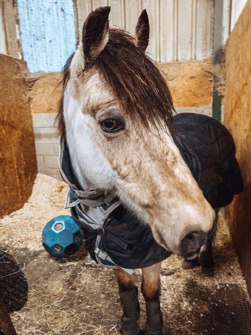 Horse inside stable with shavings bedding