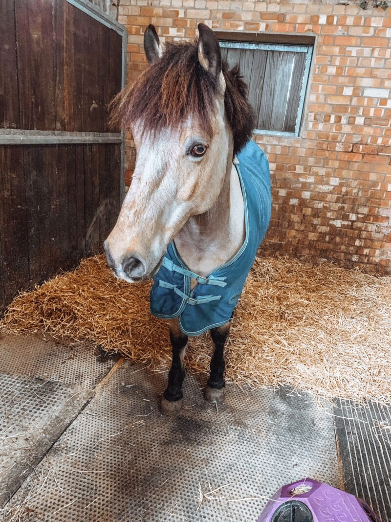 Pony in stable on straw bedding