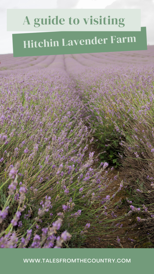 A guide to Visiting Hertfordshire's Hitchin Lavender Farm