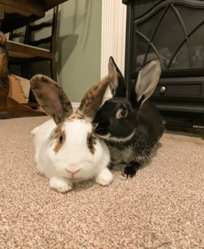 Two rabbits lie next to each other as one grooms the other