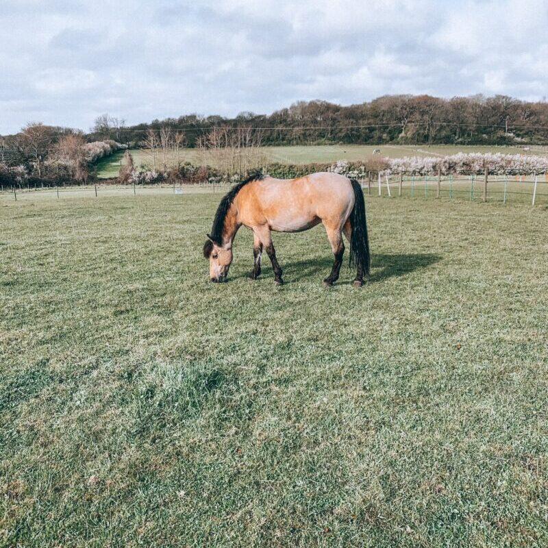 Horse grazing in a field in Britain