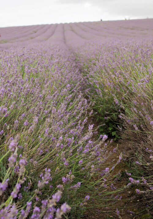 Rows and rows of bright purple lavender plants stretch out towards the horizon