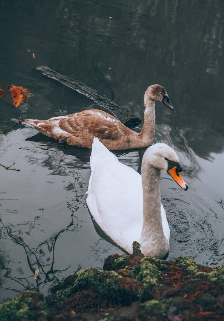 Swans at Rushmere Country Park