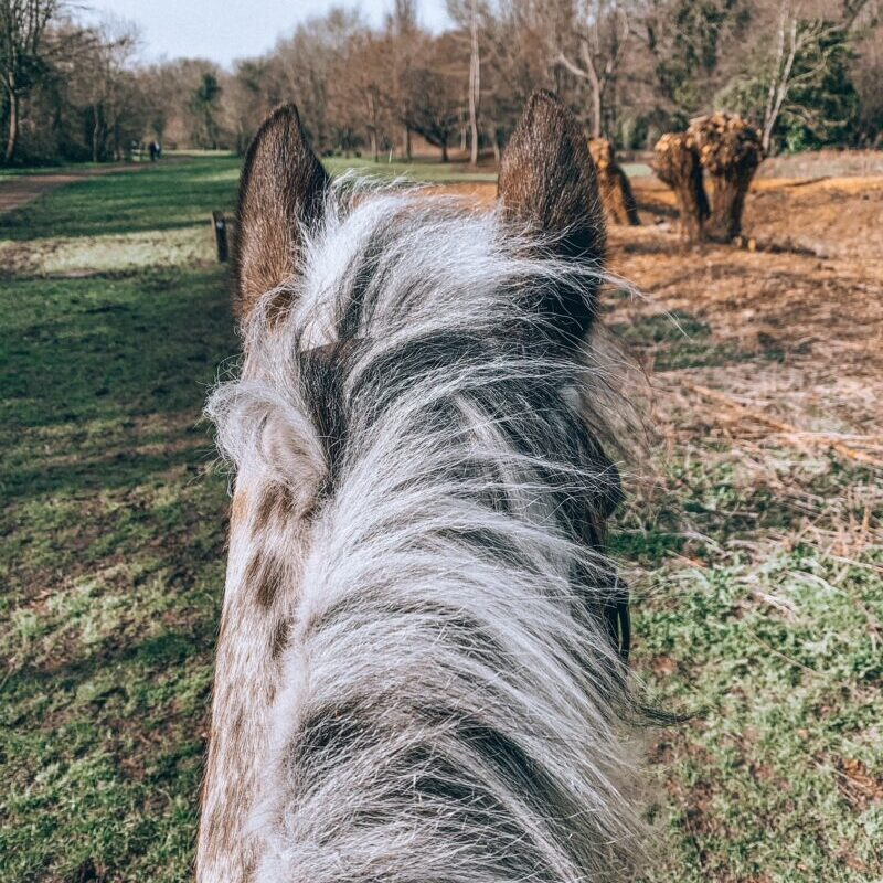 View between an appaloosa horse ears